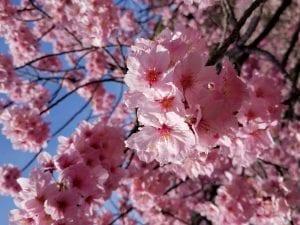 Spring Break, Sakura and Hanami